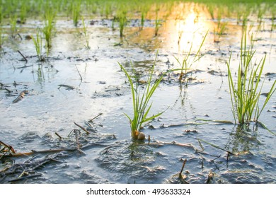 Close up on young rice plant