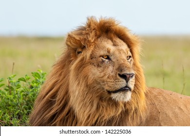 Close up of one of the most beautiful lions in Masai Mara, Kenya