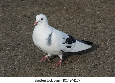 Close up of the one pigeon