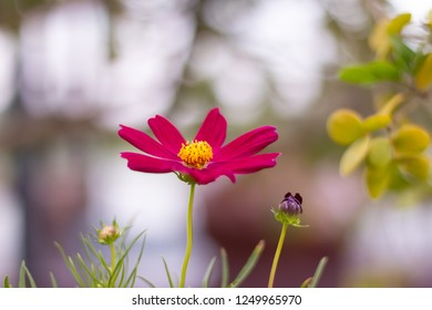 Close up one pink cosmos flower on blur background
