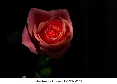 Close up one pink rose on black background love romance passion concept