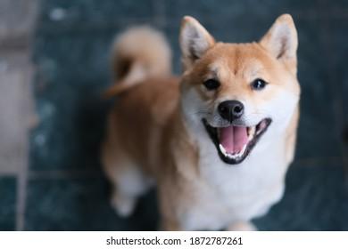 close up one Shiba Inu dog barking and looking at camera
