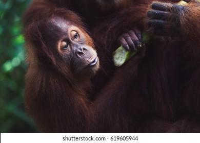Close up of one young orangutan eating fresh bamboo.