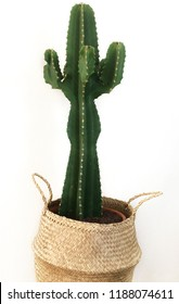 Close up of a one-stemmed, large cactus plant in a decorative seagrass basket, isolated against white background