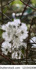 Close Up Of Open Seed Heads Of The Clematis Vitalba, Wild Clematis or Old Man's Beard Plant Growing In A Forest.