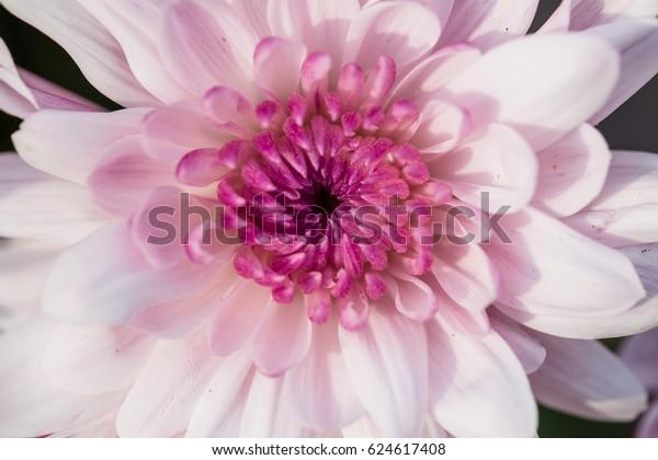 Close Open Tender Pink Chrysanthemum Flower Stock Photo