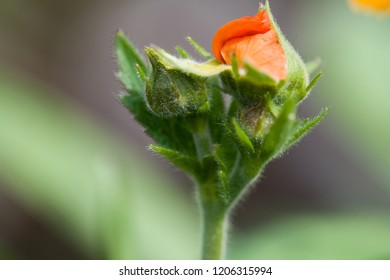 close up of an opening bud with orange blossom