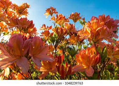 Close up orange Azalea flowers (Rhododendron indicum) in the garden