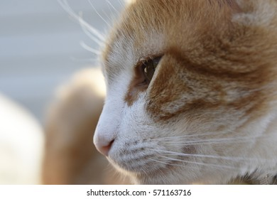 Close Up of Orange Cat face Side way
