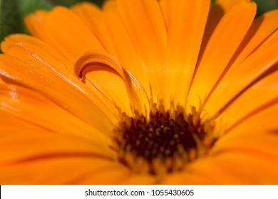 Close Up of Orange Chamomile Flower with Curve Petals Sharp only