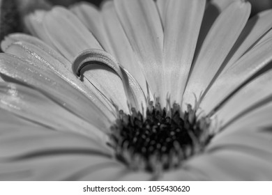 Close Up of Orange Chamomile Flower with Curve Petals Sharp only in Black and White
