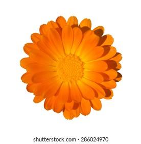 Close up of orange chrysanthemum flower isolated on white background
