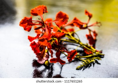 Close up of orange colored flowers of flame tree or gulmohor or goolmohor on a wooden surface.