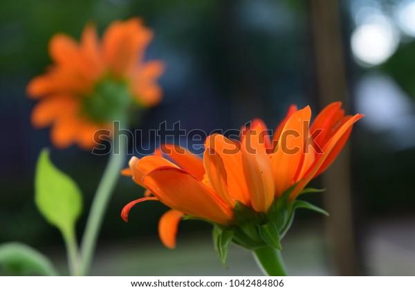 close up orange daisy in garden
