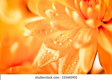 Close up of orange flower aster, daisy