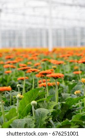 A close up of orange flowering Transvaal Daisies or Gerberas in a large field inside a modern green house.