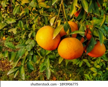 Close up of the Orange Fruit Hanging On the Branch. Orange tree with fruit.oranges hanging tree.Ripe and fresh oranges hanging on branch. Juicy fruit with green leaves.With selective focus on subject.