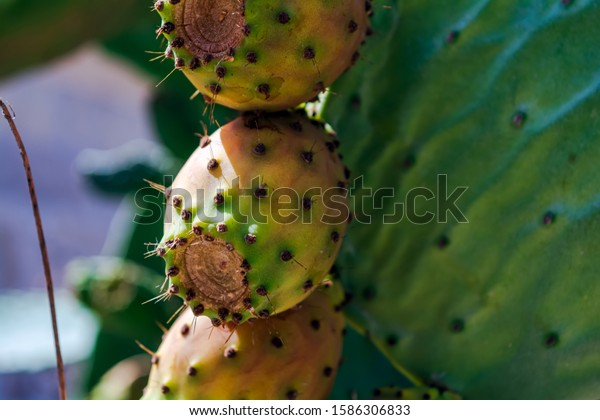 close-orange-fruits-opuntia-ficusindica-