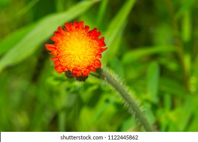 Close up of an Orange Hawkweed flower. Also known as Devil's Paintbrush. Kirkfield Lift Lock, Kawartha Lakes, Ontario, Canada.