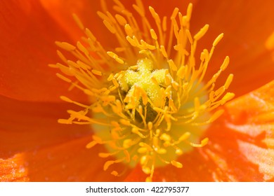 Close Red Iceland Poppy Flower Scientific Name Stock Photo Edit Now