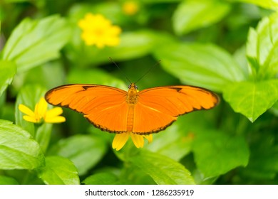Close up of an orange Julia butterfly or Julia heliconian or the