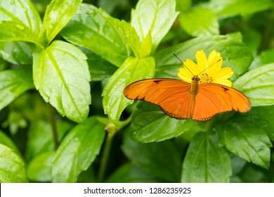 Close up of an orange Julia butterfly or Julia heliconian or the flame, or flambeau (Dryas iulia), a species of brush-footed (or nymphalid) butterfly, native from Brazil to southern Texas and Florida