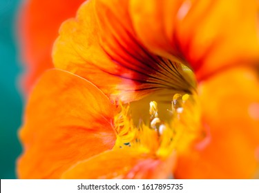Close up of orange nasturtium flower against tea background, with shallow depth of field.  Nastursium flowers can be used as food.