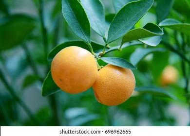 Close up Orange on Tree