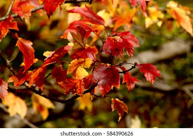 Close up of orange, red and yellow maple leafs in peak foliage during New England autumn
