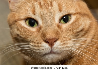 close up of orange tabby cat face - eyes nose whiskers closeup