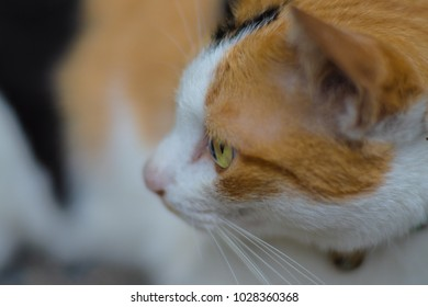 Close up orange, white and black cat, left side of the face with blurred body