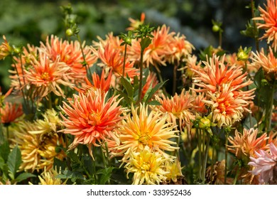 Close up of orange and yellow  dahlia flowers in garden