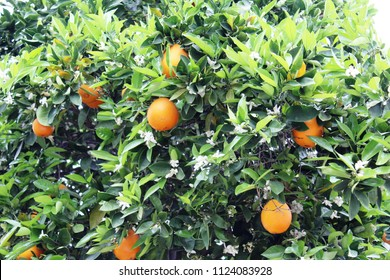 Close up of oranges and flowers on tree. Genus Citrus of family Rutaceae. Its white five-petaled flowers are very fragrant. The fruit is a modified berry known as a hesperidium.
