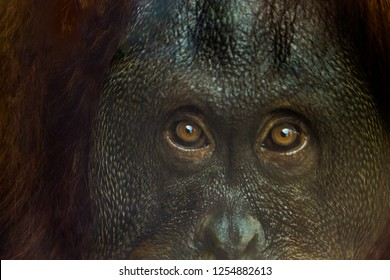 Up close of orangutan eyes