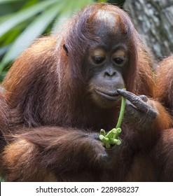 Close up of orangutan feeding