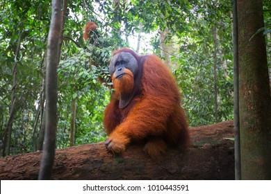 Close up of orangutan male, chief of a monkey family, looking around