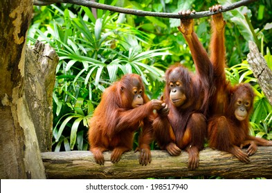 Close up of orangutans, selective focus.