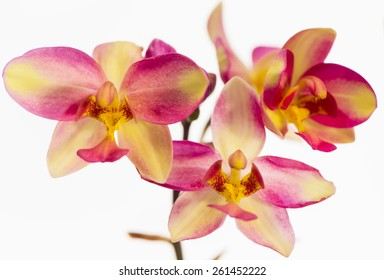 Close up to  orchids flowers.