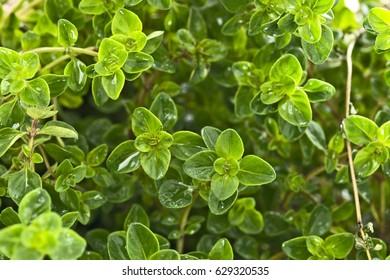 close up of oregano plant