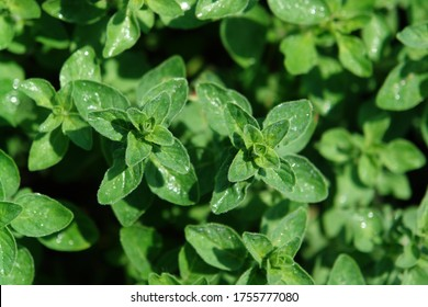A close up of oregano plants (Origanum vulgare), growing in the garden, selective focus, top view. Spice for cooking