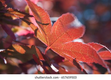 Close up of an Oregon Red Maple Leaf Tree
