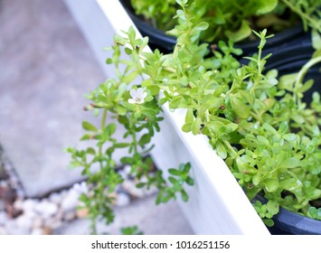 Close up organic fresh green herb or Brahmi herb or Bacopa monnieri in farm, vegetable and herb for cooking and medicine concept, selective focus