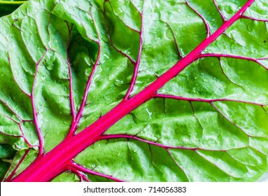 Close up of a organic and homegrown swiss chard leaf.