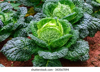 Close up of organic savoy cabbage in field.