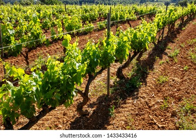 Close up of organic vineyard for viticulture. Rows of green grapevines growing in soil.
