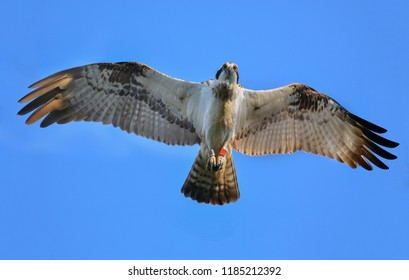 close up osprey open wing looking to You ,blue sky background