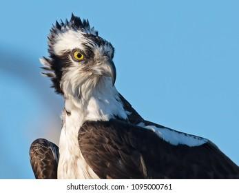 Close up Osprey Portrait