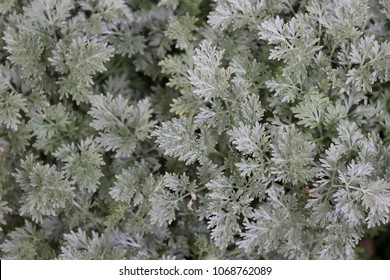 Close up outdoor view of Artemisia absinthium plant, also called absinthe, asteraceae family. Pattern of grooved, branched, and silvery-green stems with spirally arranged, greenish-grey leaves.