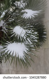 Close up outdoor view of a brahea palm tree covered by the snow during the winter in France. White and green leaves in front of a grey wall. Natural picture taken in the street. Abstract image.