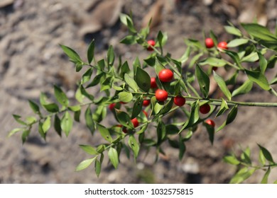 Close up outdoor view of butcher's broom plant, ruscus aculeatus, ruscaceae family. Green branches with small spine-tipped leaves. Female flowers  followed by red round berries. Blur background.